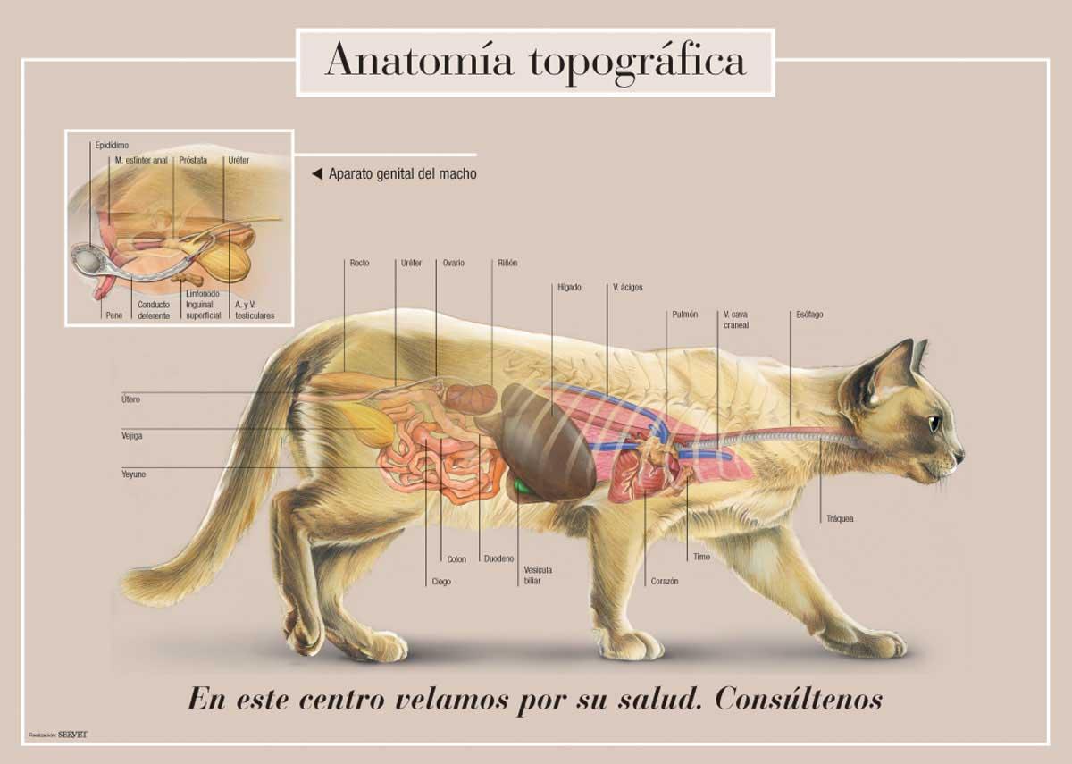 Excepcional Gato Disección De La Anatomía Imagen - Imágenes de ...